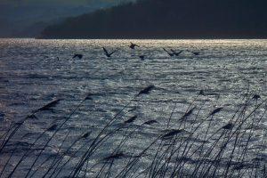 Canada Geese on Slapton Ley, Start Bay AONB